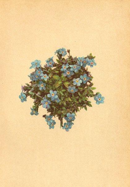 Associate Product ALPENFLORA ALPINE FLOWERS. Eritrichium terglouense A. Kern-Himmelsherold 1897
