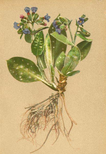ALPENFLORA ALPINE FLOWERS.Pulmonaria styriaca Kern-Steierisches Lungenkraut 1897