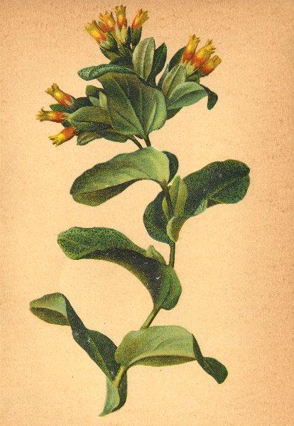 Associate Product ALPENFLORA ALPINE FLOWERS. Cerinthe alpina Kit-Alpen-Wachsblume 1897 old print
