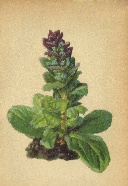 Associate Product ALPENFLORA ALPINE FLOWERS. Ajuga Pyramidalis L-Pyramidengünsel 1897 old print