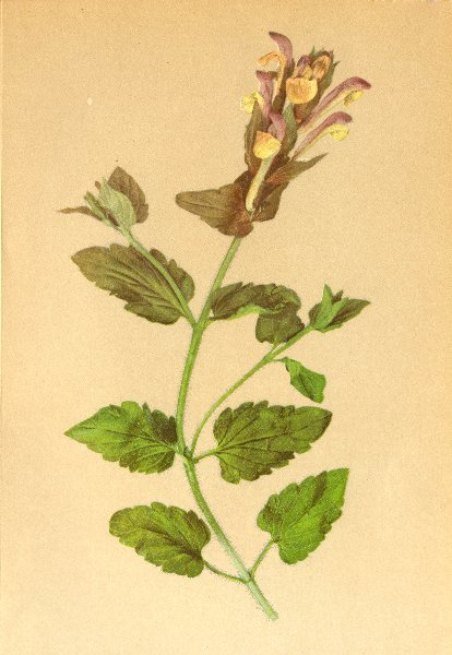 Associate Product ALPENFLORA ALPINE FLOWERS. Scutellaria alpina L-Alpen-Helmkraut 1897 old print