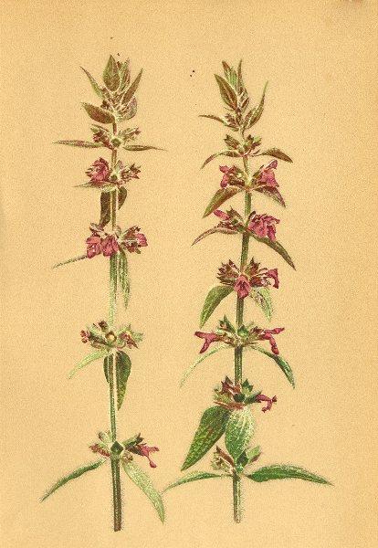 Associate Product ALPENFLORA ALPINE FLOWERS. Stachys alpina L-Alpenziest 1897 old antique print