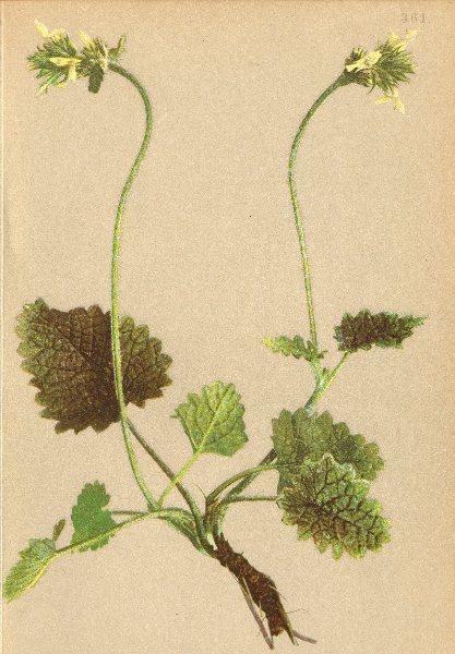 Associate Product ALPENFLORA ALPINE FLOWERS.Stachys alopecuros(L.)Benth-Fuchsschwanz-Ziest 1897