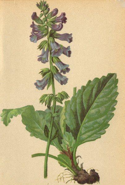 Associate Product ALPENFLORA ALPINE FLOWERS. Horminum pyrenaicum L-Drachenmaul 1897 old print