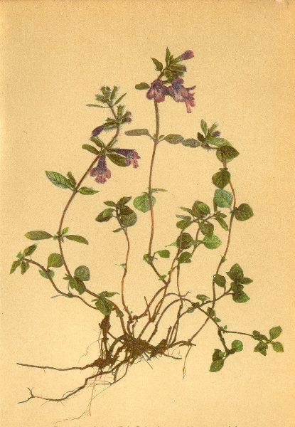 Associate Product ALPENFLORA ALPINE FLOWERS. Satureja alpina (L) Scheele-Alpenquendel 1897 print