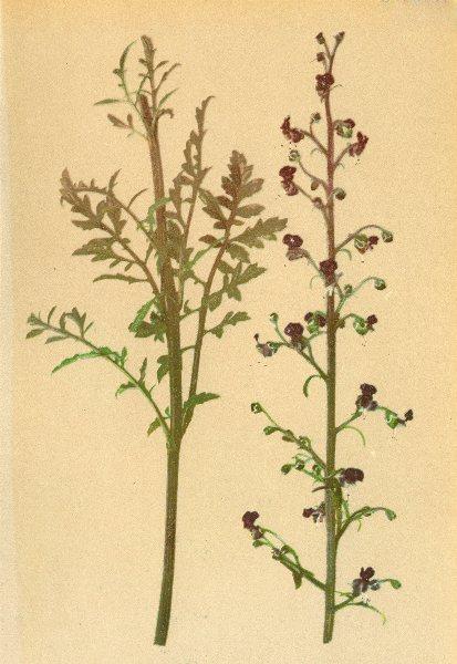 Associate Product ALPENFLORA ALPINE FLOWERS. Scrophularia Hoppei Koch-Hoppe's Braunwurz 1897