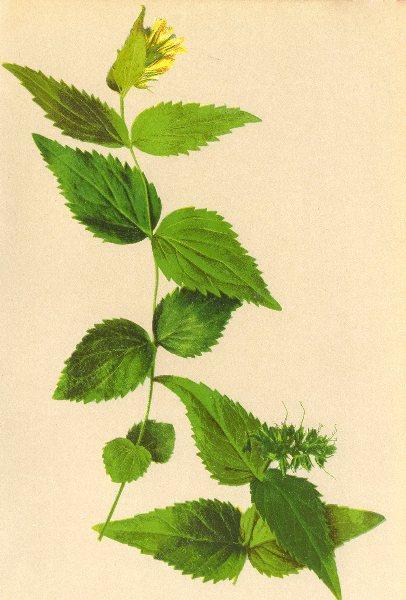 Associate Product ALPENFLORA ALPINE FLOWERS. Veronica lutea (Scop. ) Wettst-Gelber Ehrenpreis 1897