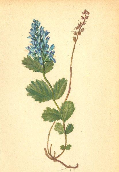 Associate Product ALPENFLORA ALPINE FLOWERS. Veronica bonarota (L. ) Wettst-Mänderle 1897 print