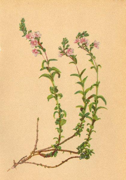 Associate Product ALPENFLORA ALPINE FLOWERS. Veronica fruticolosa L-Rother Felsehrenpreis 1897