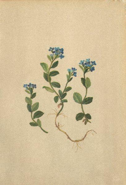 Associate Product ALPENFLORA ALPINE FLOWERS. Veronica alpina L-Alpenehrenpreis 1897 old print