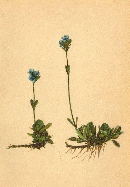 Associate Product ALPINE FLOWERS. Veronica bellidioides L-Maassliebchenblättriger Ehrenpreis 1897