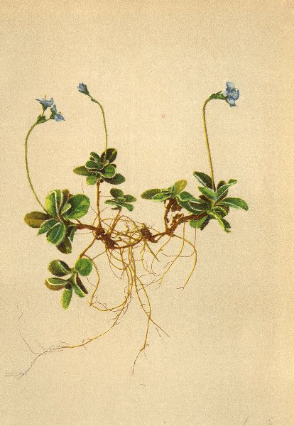 Associate Product ALPENFLORA ALPINE FLOWERS. Veronica aphylla L-Stengelblattloser Ehrenpreis 1897