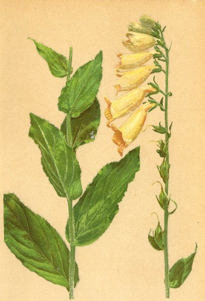 Associate Product ALPENFLORA ALPINE FLOWERS. Digitalis ambigua Murr-Gemeiner Fingerhut 1897