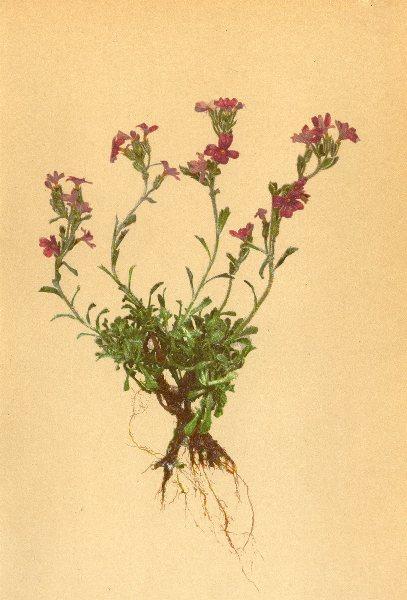 ALPENFLORA ALPINE FLOWERS. Erinus alpinus L-Leberbalsam 1897 old antique print