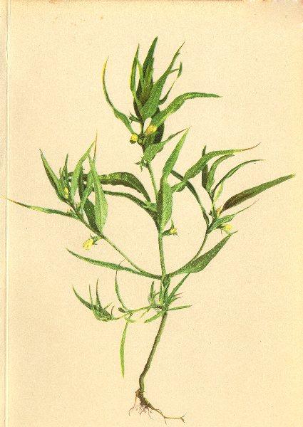 Associate Product ALPENFLORA ALPINE FLOWERS. Melampyrum silvaticum L-Wald-Wachtelweizen 1897