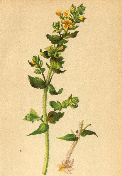 Associate Product ALPENFLORA ALPINE FLOWERS. Tozzia alpina L-Alpenrachen 1897 old antique print
