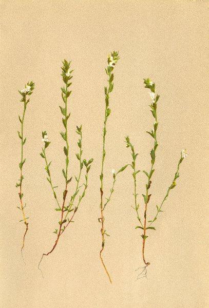 Associate Product ALPINE FLOWERS. Euphrasia salisburgensis Funk-Salzburgischer Augentrost 1897