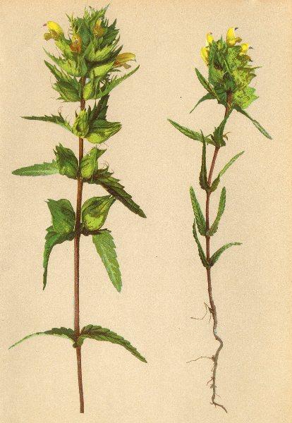 Associate Product ALPENFLORA. Alectorolophus lanceolatus Sterneck-Lanzettblättriger 1897 print