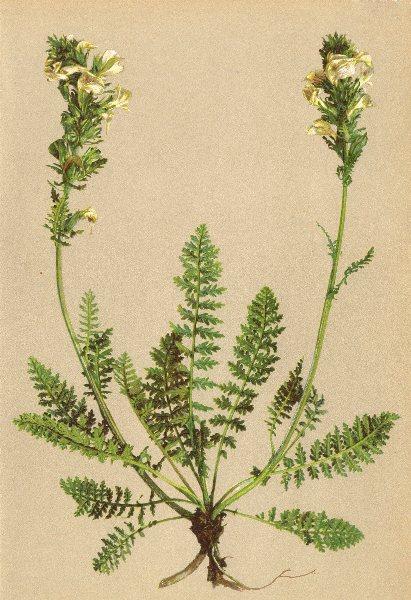 Associate Product ALPINE FLOWERS. Pedicularis elongata A. Kern-Langtraubiges Läusekraut 1897