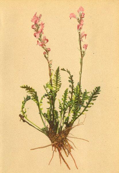 Associate Product ALPINE FLOWERS. Pedicularis incarnata Jacq-Fleischrothes Läusekraut 1897 print