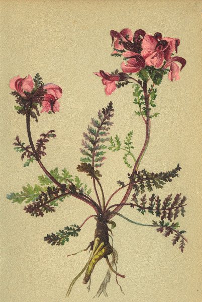 Associate Product ALPENFLORA ALPINE FLOWERS. Pedicularis rostrata L-Geschnäbeltes Läusekraut 1897