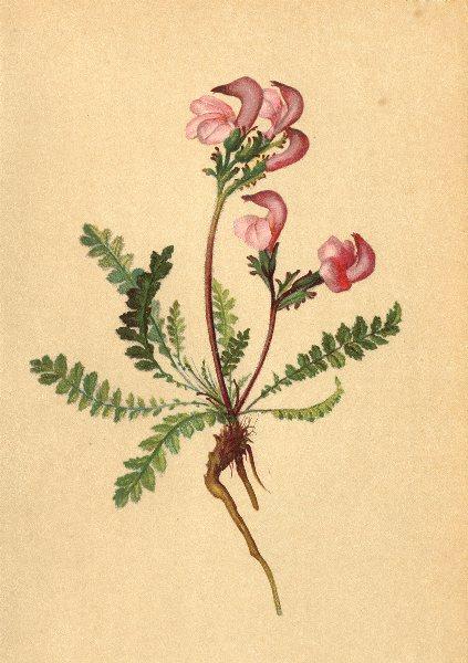 ALPINE FLOWERS. Pedicularis cöspitosa Sieb-Rasenbildendes Läusekraut 1897