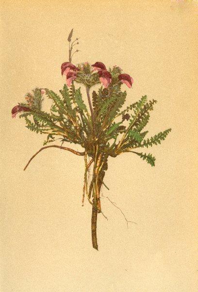 Associate Product ALPENFLORA. Pedicularis asplenifolia Floerke-Streifenfarnblättriges 1897 print