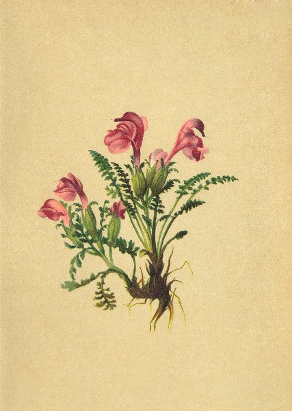 Associate Product ALPENFLORA ALPINE FLOWERS.Pedicularis geminata Port-Blüthenarmes Läusekraut 1897