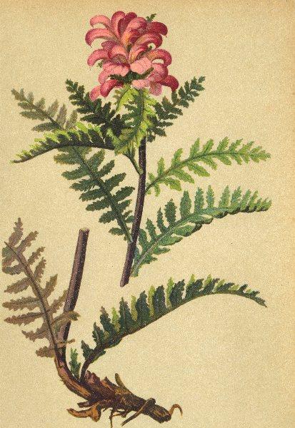 Associate Product ALPENFLORA ALPINE FLOWERS.Pedicularis recutita L-Ungeschnäbeltes Läusekraut 1897
