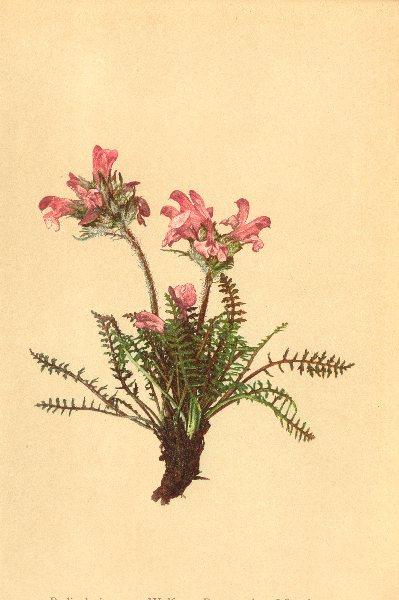 Associate Product ALPENFLORA ALPINE FLOWERS. Pedicularis rosea Wulf-Rosenrothes Läusekraut 1897
