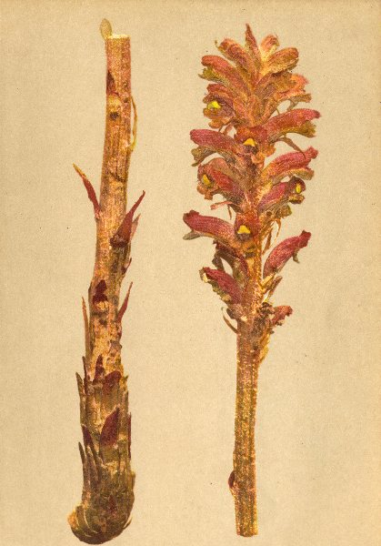 Associate Product ALPENFLORA ALPINE FLOWERS. Orobanche flava Mart-Gelbe Sommerwurz 1897 print