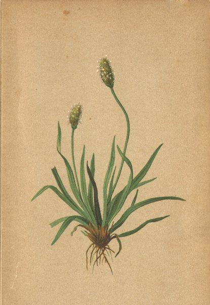 Associate Product ALPENFLORA ALPINE FLOWERS. Plantago alpina L-Alpenwegerich 1897 old print