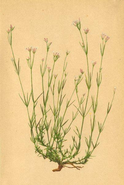 Associate Product ALPENFLORA ALPINE FLOWERS.Asperula Longiflora W.K-Langblumiger Waldmeister 1897