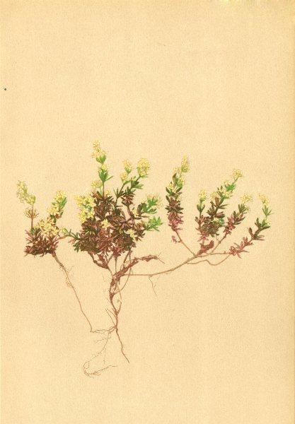 Associate Product ALPENFLORA ALPINE FLOWERS. Galium baldense Spreng-Monte Baldo-Labkraut 1897