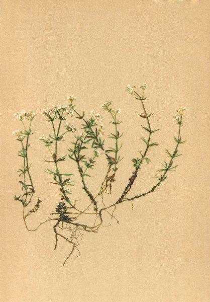 Associate Product ALPENFLORA ALPINE FLOWERS.Galium austriacum Jacq-Oesterreichisches Labkraut 1897