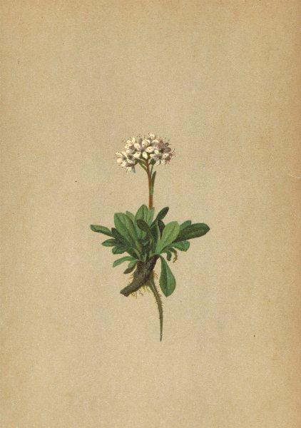 ALPENFLORA ALPINE FLOWERS. Valeriana saliunca All-Weidenblättriger Baldrian 1897