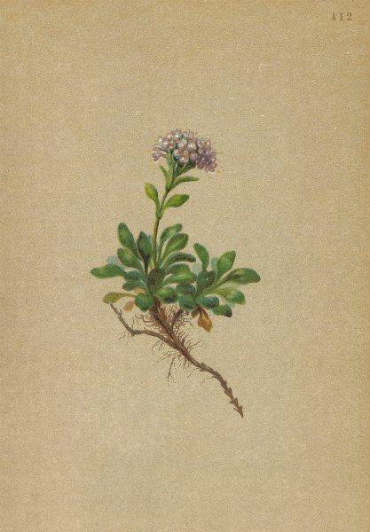 Associate Product ALPENFLORA ALPINE FLOWERS. Valeriana supina L-Niedriger Baldrian 1897 print