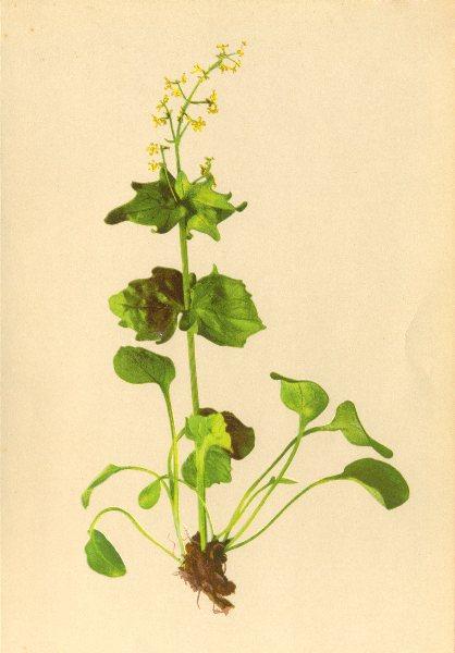 Associate Product ALPENFLORA ALPINE FLOWERS. Valeriana elongata Jacq-Verlängerter Baldrian 1897