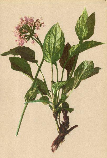 Associate Product ALPENFLORA ALPINE FLOWERS. Valeriana Montana L-Bergbaldrian 1897 old print