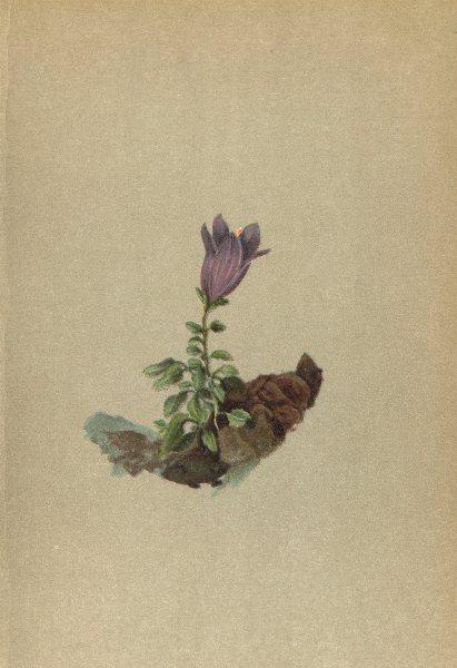 Associate Product ALPENFLORA ALPINE FLOWERS. Campanula morettiana Rchb-Moretti's Glockenblume 1897