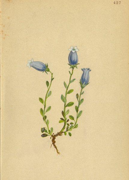 Associate Product ALPENFLORA ALPINE FLOWERS. Campanula zoisii Wulf-Zois Glockenblume 1897 print