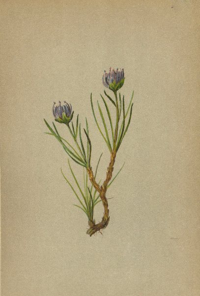 Associate Product ALPENFLORA ALPINE FLOWERS. Phyteuma hemisphaericum L-Kugelrapunzel 1897 print