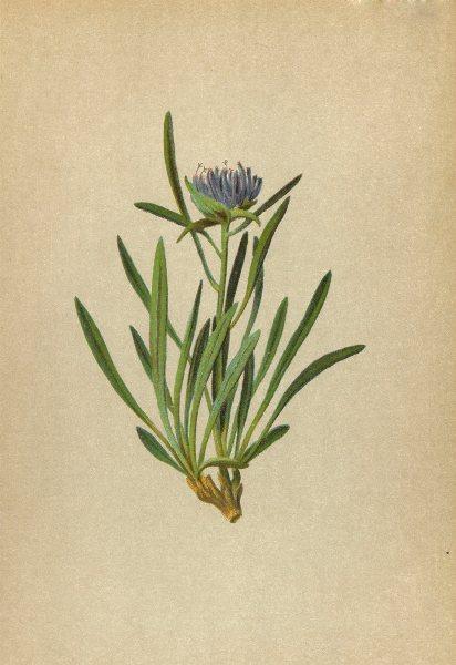 Associate Product ALPENFLORA ALPINE FLOWERS. Phyteuma humile Schleich-Niedriger Rapunzel 1897