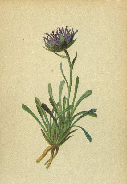 Associate Product ALPENFLORA ALPINE FLOWERS. Phyteuma confusum A. Kern-Verkannter Rapunzel 1897