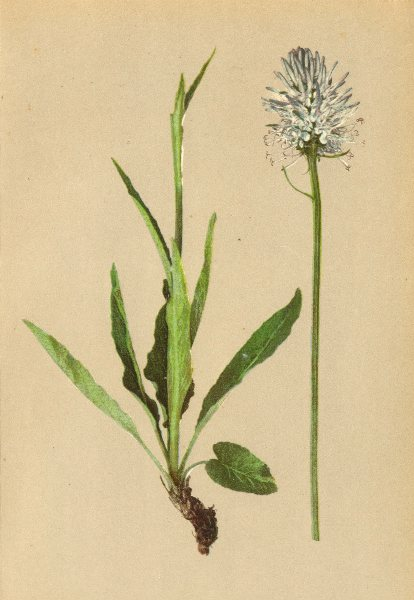 Associate Product ALPINE FLOWERS. Phyteuma betonicaefolium Vill-Ziestblättriger Rapunzel 1897