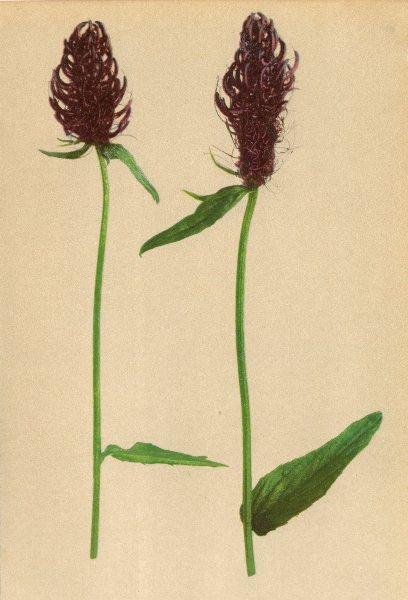 Associate Product ALPENFLORA ALPINE FLOWERS. Phyteuma halleri All-Haller's Rapunzel 1897 print