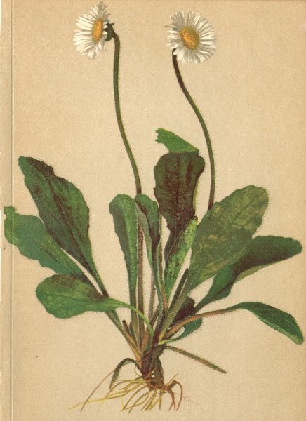 Associate Product ALPENFLORA ALPINE FLOWERS.Aster bellidiastrum Scop-Maassliebchen-Sternblume 1897