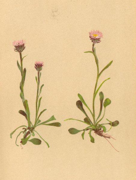 Associate Product ALPENFLORA ALPINE FLOWERS. Erigeron uniflorus L-Einblüthiges Berufkraut 1897