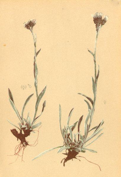 Associate Product ALPINE FLOWERS. Antennaria carpatica Bl. F-Karpatisches Katzenpfotchen 1897