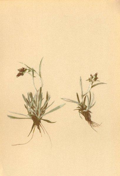 Associate Product ALPENFLORA ALPINE FLOWERS. Gnaphalium hoppeanum Koch-Hoppe's Ruhrkraut 1897